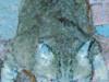 gribouille-bleu