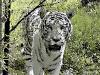 tigre-libere